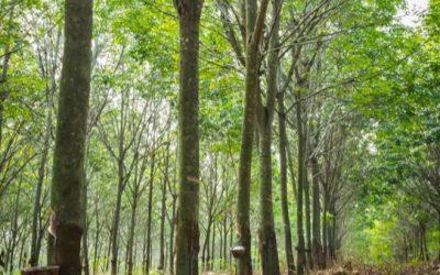 Hevea Brasiliensis – The Plants of the Amazon
