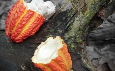 Theobroma cacao – The Plants of the Amazon