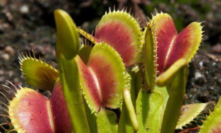 Venus Flytrap – Dionaea muscipula (Plant Profile)
