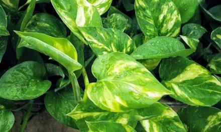 Pothos Plant Care 101