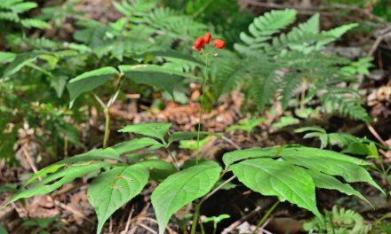 American Ginseng – Panax quinquefolius (Plant Profile)
