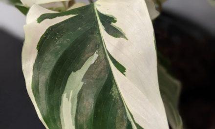Why Plants Develop Variegation